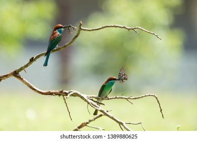 Pair of Blue-throated bee-eater (Merops viridis) catching the Blue tiger butterfly for feeding its chicks, winter visitor bird in Thailand. Blue-throated bee-eater with butterfly.
