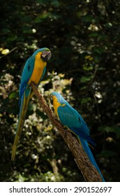 Pair of Blue-Yellow Macaws