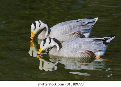 Pair of bra-headed geese with their reflection. A touching shot of a pair of lovely bar-headed geese as they cast their reflections onto the water.