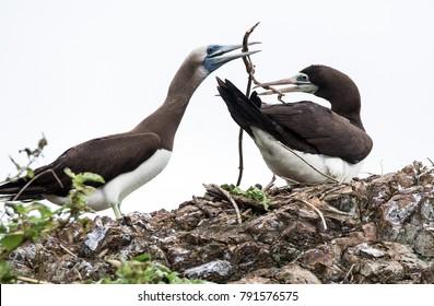 Pair of brown boobies building a nest. Costa Rica. November 2017