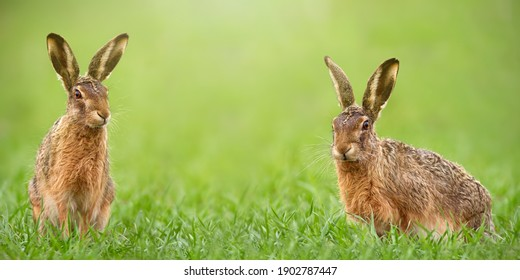 Pair of brown hares, lepus europaeus, facing camera from green grass with copy space. Concept of Easter bunny on meadow in nature with copy space. Animal wildlife in horizontal composition.
