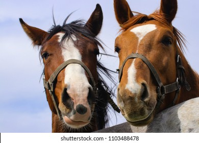Pair brown horses with extreme close-up