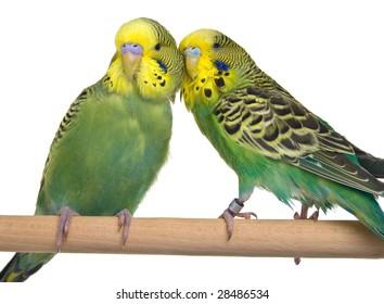 pair budgerigar on white background