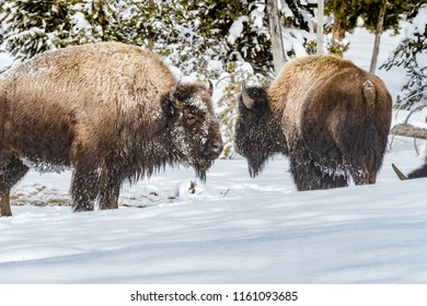 Pair of buffalo covered in snow in Yellowstone in winter