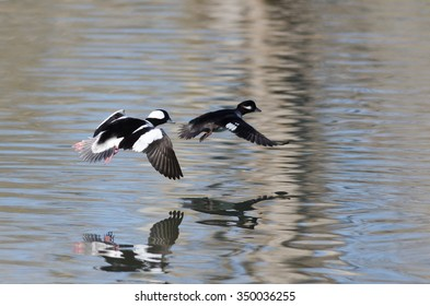 Pair of Bufflehead Ducks Flying Low Over the Still Pond Waters