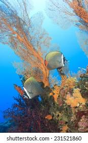 Pair of Butterflyfish