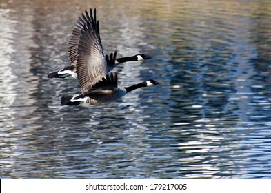 A Pair of Canada Geese Flying Over Water