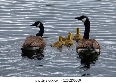 A pair of Canada geese swimming on an Adirondack pond with theirs goslings.