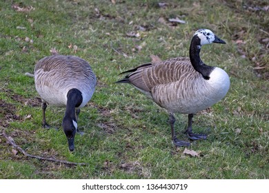 A pair of canadian geese swimming on a small lake. Seen in southern Sweden.