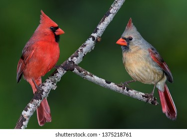 A pair of cardinals are facing each other on a tree branch.
