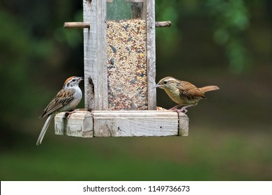 A pair of Carolina wren (Thryothorus ludovicianus)  and house sparrow ( Passer Domesticus ) perching on the wooden feeder enjoy eating and watching on the blurry garden background, Summer in GA USA.