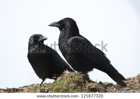 A pair of Carrion Crows with a white background.