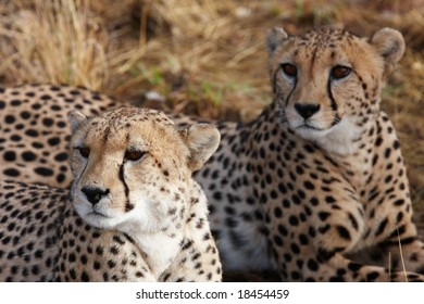 Pair of cheetah having a rest, close-up