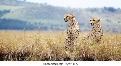 A pair of Cheetah in the Masai Mara landscape