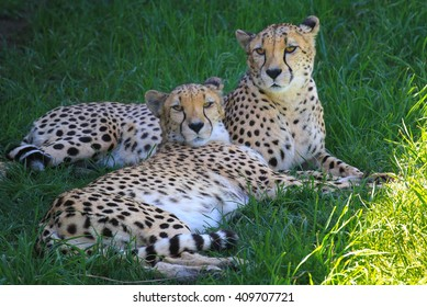 A pair of Cheetahs laying in the shade/Cheetah, Cheetah