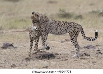 Pair of cheetahs, Masai Mara National Reserve, Kenya, East Africa