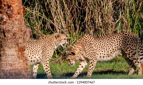Pair of Cheetah's playing in grassy area