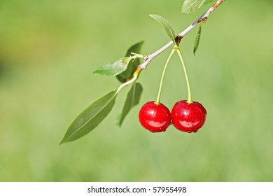 Pair of cherries on cherry-tree in orchard. Shallow focus depth