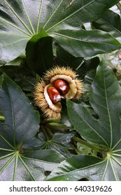 Pair of chestnuts in their spiky shells.