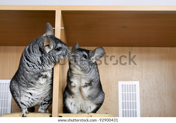 A pair of chinchillas, communicating with each other through a separator.