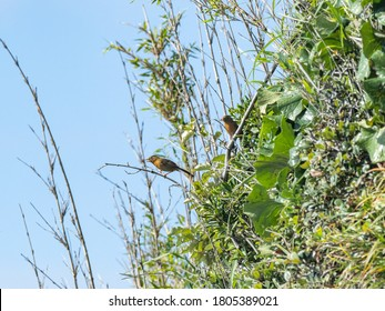 A pair of Chinese hwamei or melodious laughingthrush, Garrulax canorus, perch in the brush hanging off of the cliff-face on Enoshima, a small island in Fujisawa, Japan.