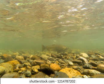 A Pair Of Chinook Salmon In The Cedar River