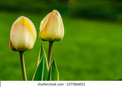 Pair of closed yellow tulip buds isolated against green background.