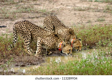 A pair of collared cheetah, drinking. Africat Foundation, Okonjima, Namibia.  The Africat foundation rescues large predators and rehabilitates them with a view to releasing back into the wild