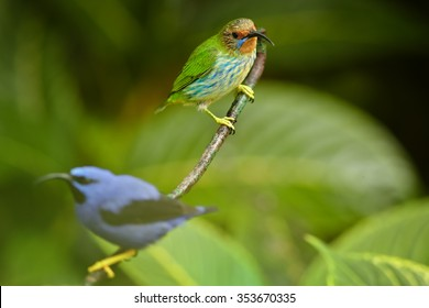 Pair of colorful blue and purple male Cyanerpes caeruleus  Purple Honeycreeper with green female perched on twig among blurred green leaves  with lens bokeh effect in rain forest of Trinidad.