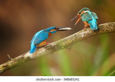 Pair of colorful Common Kingfisher  Alcedo atthis perched on branch, isolated on blurry  background. Male coming with small fish as present for female.  Lit by late evening sun.