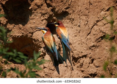 Pair of colorful  European Bee-eater, Merops apiaster, two birds sitting at the edge of a nesting hole in a typically sandy, steep bank. Nesting birds in late spring, South Moravia, Czech republic.