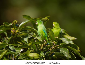 Pair of colorful Green-rumped Parrotlet, Forpus passerinus viridissimus, perched on top of bush against green background, Tobago island. Trinidad and Tobago.