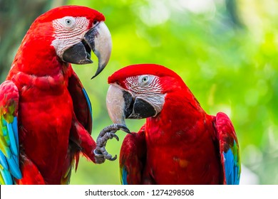 Pair of colorful Macaws parrots, Ara parrots ,Scarlet Macaw and Great green macaw, two birds perched on on the branch