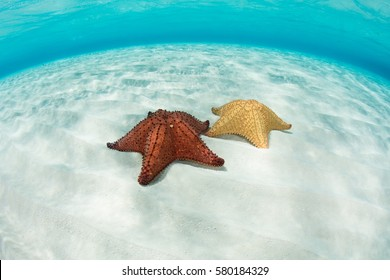 A pair of colorful West Indian starfish (Oreaster reticulatus) lie on the shallow, sandy seafloor of Turneffe Atoll off the coast of Belize.