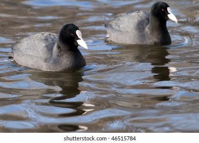 Pair of Common Coot (Moorhen) on Water