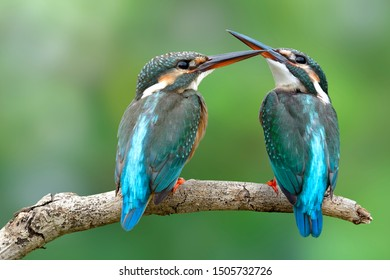 Pair Common kingfisher (Alcedo atthis) beautiful turquoise birds perching on wooden together while fighting for fish in stream, exotic wildlife