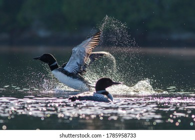 Pair of common loon in summer, Quebec, Canada