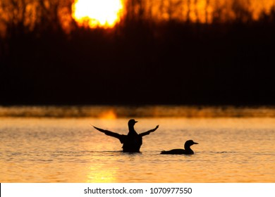 Pair of Common Loons at sunrise