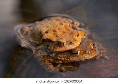 Pair of common toad during mating