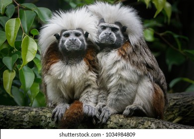 A pair of cotton top tamarins huddle together on a branch. These tiny monkeys weigh less than 0.5kg making them one of the smallest primates.