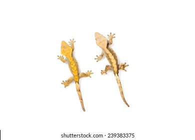 Pair of crested geckos