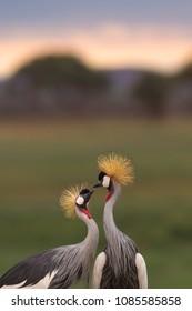 Pair of Crowned Crane !  Courtship dance of Crowned Crane.  When Love is Crowned !  Pair of Birds/Crowned Cranes at Sunrise shot at Amboseli.