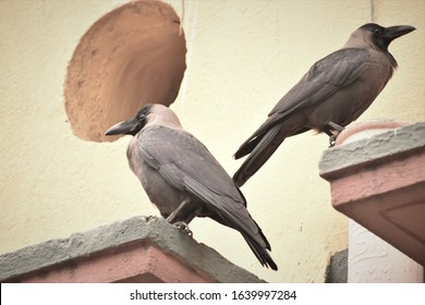 pair of crows sitting back to back after fight like sulking couples after breakup