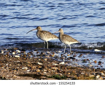 Pair of Curlews on the beach