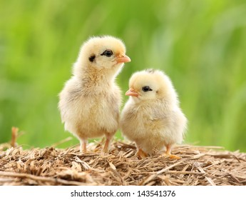 Pair of Cute Babies Chicken on nature background