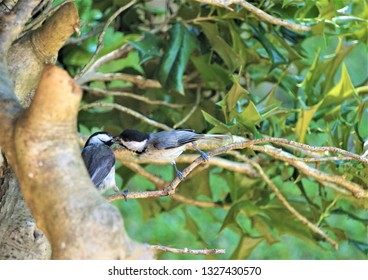 A pair of cute black capped chickadee bird (Poecile atricapillus)feeding food to the mouth and perching on the branch of the tree on the garden background, Spring in GA USA.