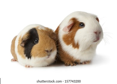 Pair of cute guinea pigs isolated on white background