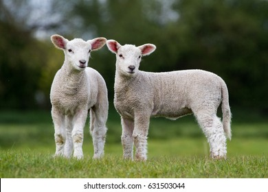 Pair of Cute Lambs looking right of camera stood in field