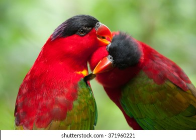 pair of cute lories parrot birds showing love and devotion while caring of feathers together in singapore park