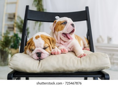 Pair of cute puppies of a bulldog casually relaxing in soft chair.  Closeup